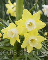 Набор луковиц цветов Негрита 15 луковиц (тюльпаны, нарциссы, крокусы), фото 3