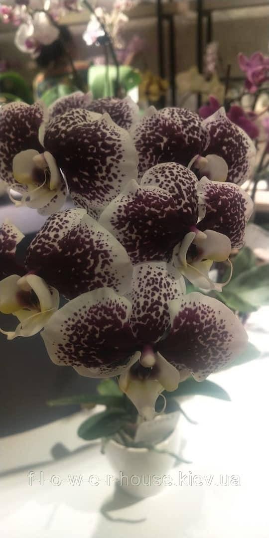 Орхидея Тучка