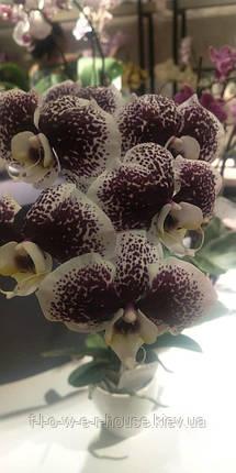 Орхидея Тучка, фото 2