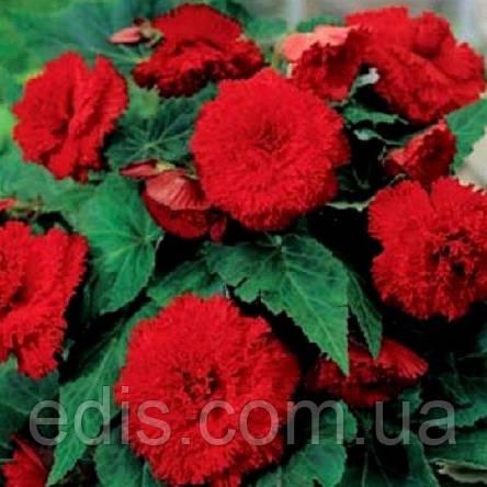 Бегония Фимбриата Темно Красная / 1 клубень, фото 2