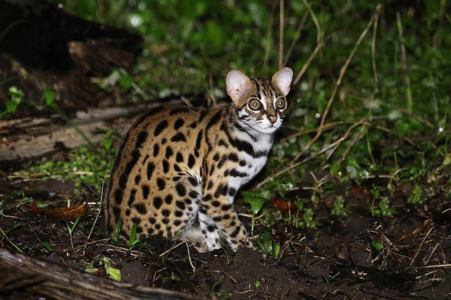 Рідкісні дикі коти, яких ви ніколи не бачили
