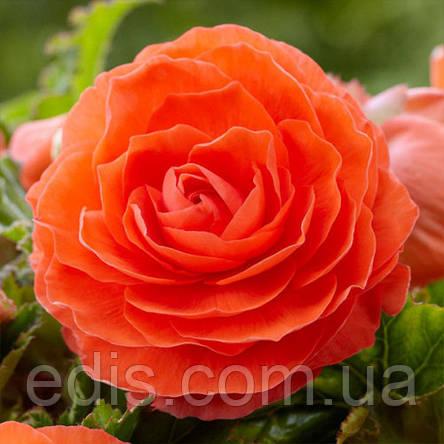 Бегония махровая New Star Оранжевая / 1 клубень, фото 2