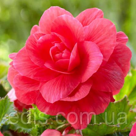 Бегония махровая New Star Розовая / 1 клубень, фото 2