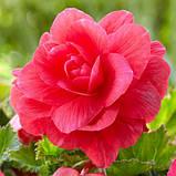 Бегонія махрова Рожева / 1 бульба, фото 2