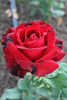 Лавли Ред (среднее качество), фото 2