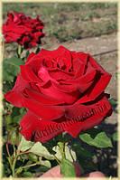 Лавли Ред (среднее качество), фото 3
