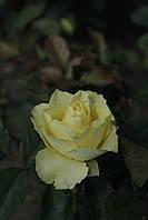 Лимбо (среднее качество), фото 2