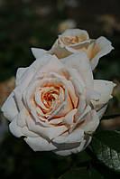 Лайонз Роуз (среднее качество), фото 2
