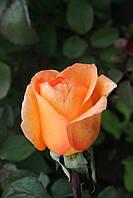 Луиде Фюнес (среднее качество), фото 3