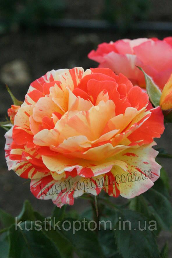 Оранж де Лемон (среднее качество)