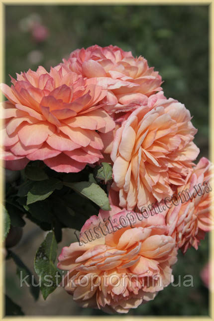 Роз де Жерберуа (среднее качество)