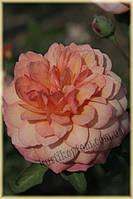 Роз де Жерберуа (среднее качество), фото 2