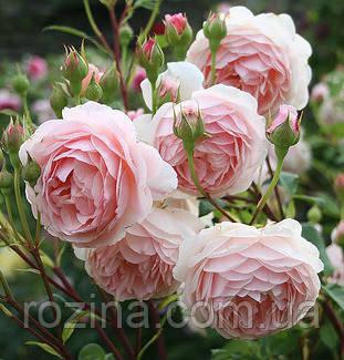 """Саджанці троянди """"Вильям Морис"""""""