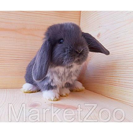 """Карликовый вислоухий кролик,порода """"Вислоухий баранчик"""",окрас """"Голубой капюшенчатый"""",девочка,возраст 1,5мес., фото 2"""