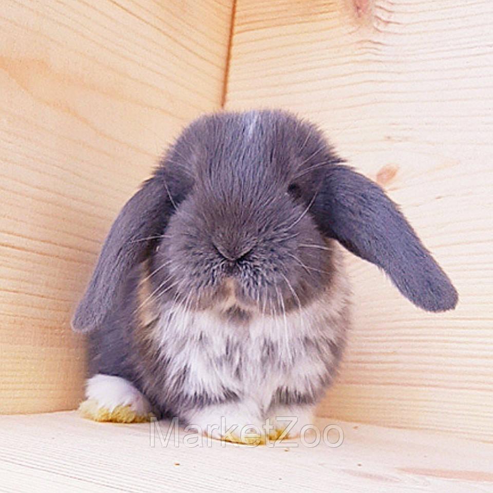 """Карликовый вислоухий кролик,порода """"Вислоухий баранчик"""",окрас """"Голубой капюшенчатый"""",девочка,возраст 1,5мес."""