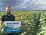 Семена подсолнечника Златибор классическая технология, фото 8