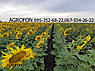 Семена подсолнечника Златибор классическая технология, фото 9