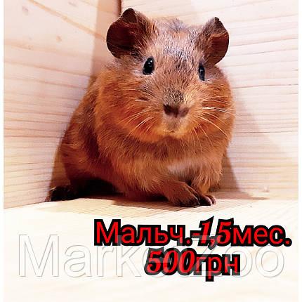 """Морская свинка,порода """"Гладкошерстная"""",окрас """"Агути"""",мальчик,возраст 1,5мес., фото 2"""