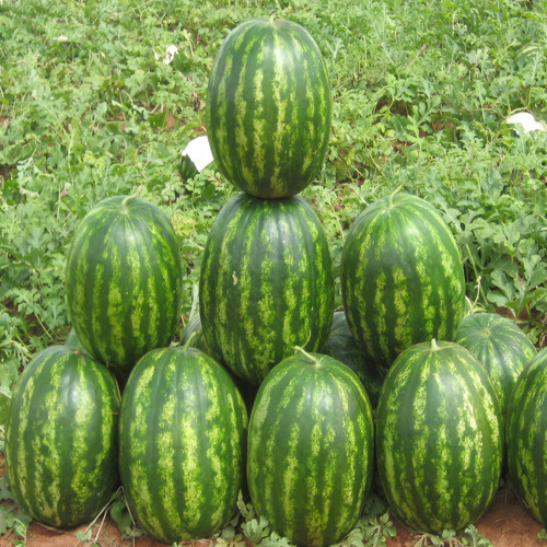 Семена арбуза Бархан F1, 1000 семян — овальный, ранний, Syngenta