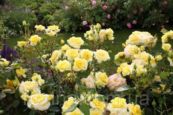 "Саджанці троянди ""Штернталер"""