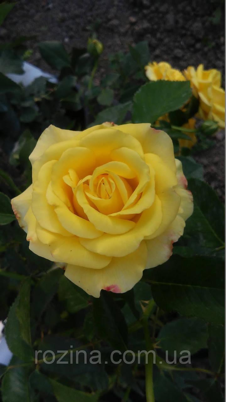 """Саджанці троянди """"Роза Мальта"""""""