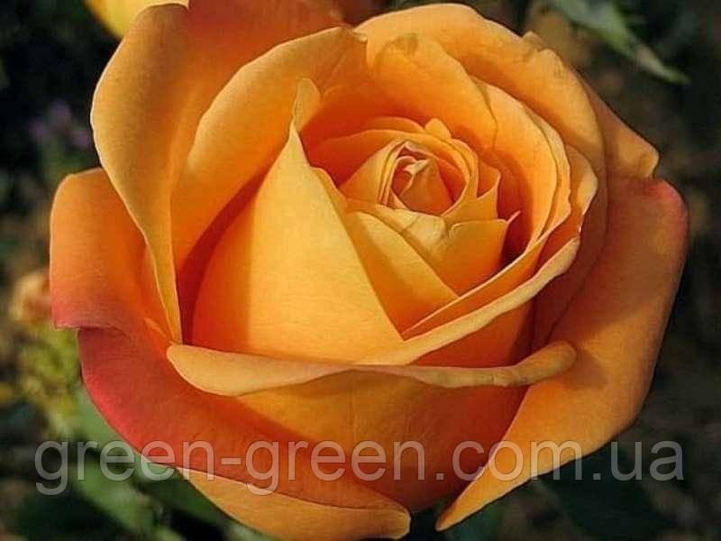 Роза чайно-гибридная Woodoo, саженец