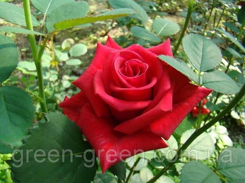 Роза чайно-гибридная Kardinal, саженец