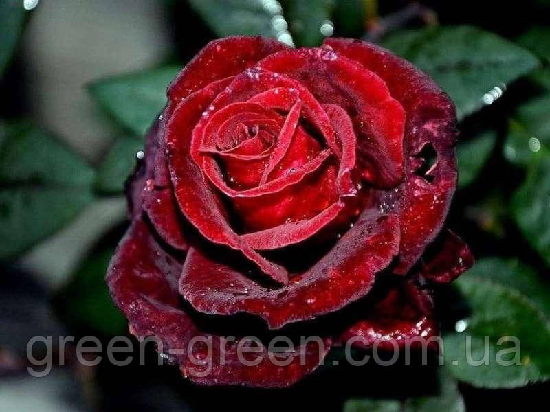 Роза чайно-гибридная Norita, саженец