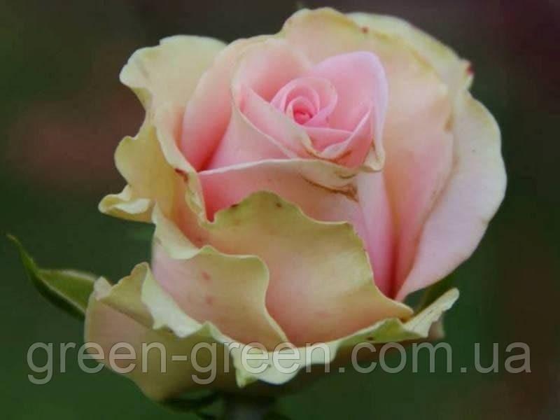 Роза чайно-гибридная Дансинг Квин, саженец