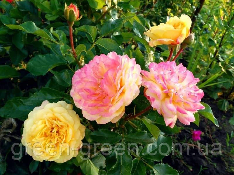 Роза чайно-гибридная Lampion, саженец