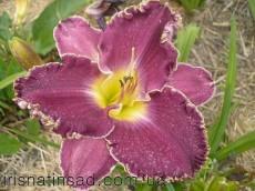 Лилейник Purple Umbrella