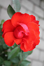 Роза Сатчмо (Satchmo) Флорибунда, фото 3