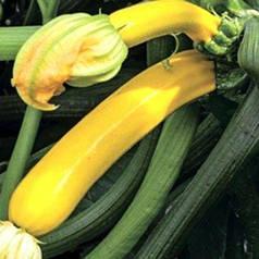 Семена кабачка Голден Глори F1, 500 семян — ранний ( 42-45 дней), золотисто-желтый, Syngenta