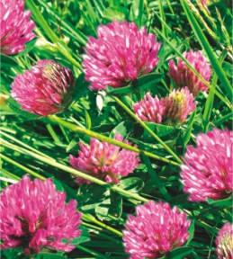 Семена Клевер красный, фото 2