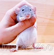 """Крыска дамбо,окрас """"Шиншиловый капюшенчатый"""",девочка,возраст 1,5мес.,, фото 3"""