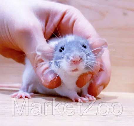 """Крыска дамбо,окрас """"Шиншиловый капюшенчатый"""",девочка,возраст 1,5мес.,, фото 2"""