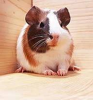 """Морская свинка,порода """"Гладкошерстная"""",окрас """"Триколор"""",возраст 1,5мес.,мальчик, фото 3"""