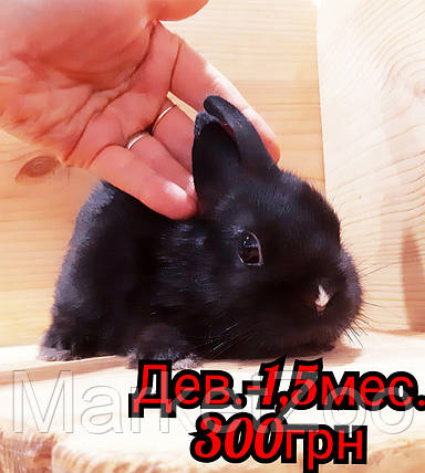 """Карликовый торчеухий кролик,порода """"Голландский"""",окрас """"Черно-белый """",возраст 1,5мес,девочка, фото 2"""