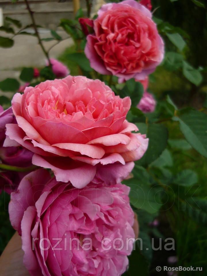 """Саджанці троянди """"Ладуре"""""""