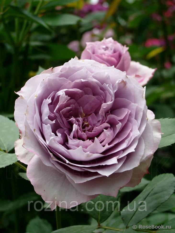 """Саджанці троянди """"Новалис"""""""