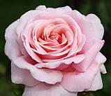 Троянда  Фредерік Містраль. (вв). Чайно-гібридна троянда, фото 2