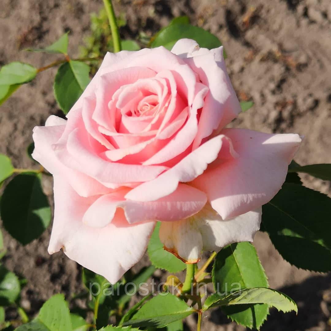 Троянда  Фредерік Містраль. (вв). Чайно-гібридна троянда