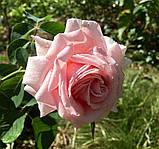 Троянда  Фредерік Містраль. (вв). Чайно-гібридна троянда, фото 3