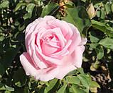 Троянда  Фредерік Містраль. (вв). Чайно-гібридна троянда, фото 4