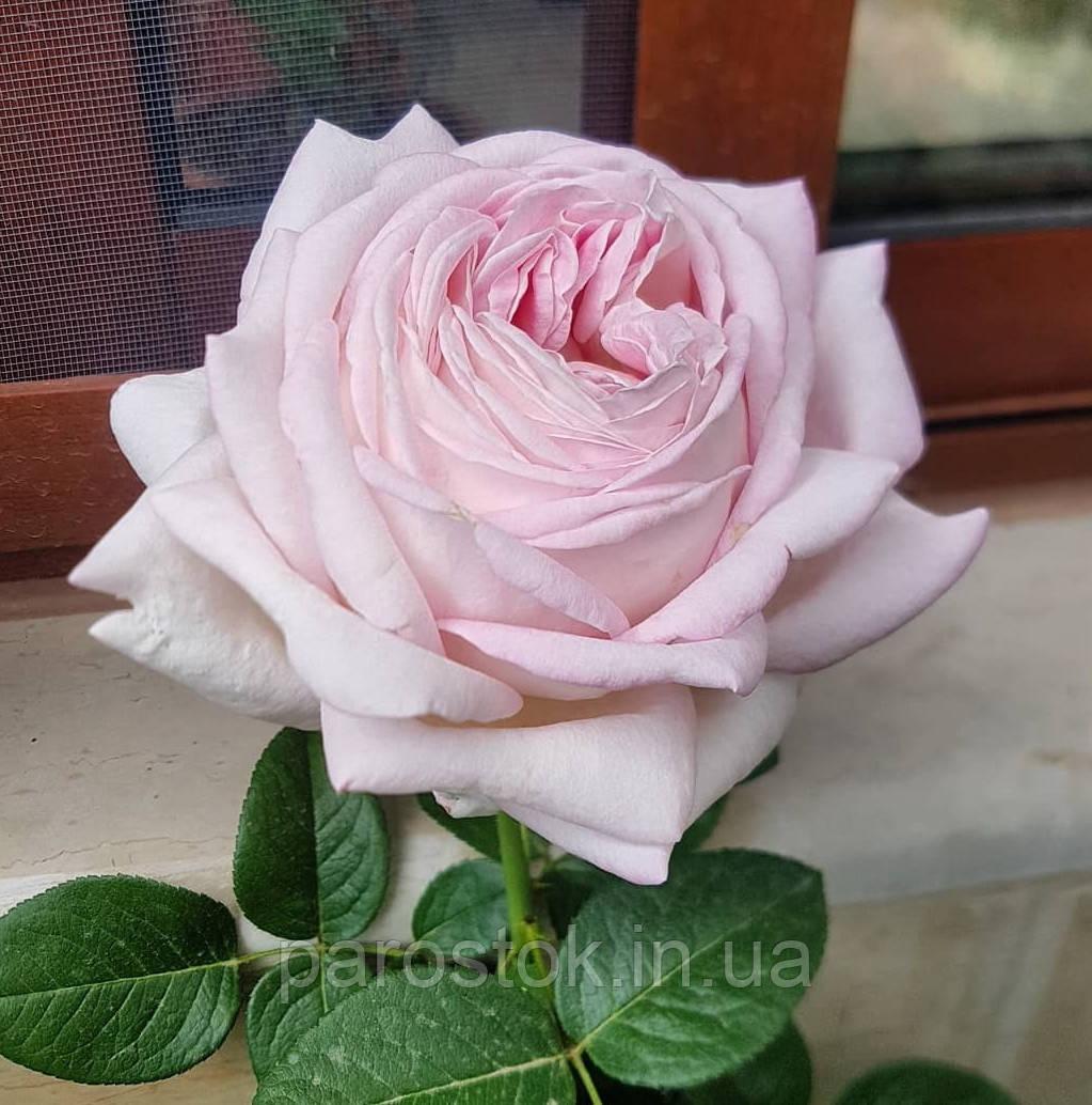 Роза Мириам. (в). Чайно-гибридная роза