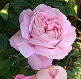 Роза Мириам. (в). Чайно-гибридная роза, фото 2