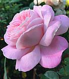 Роза Мириам. (в). Чайно-гибридная роза, фото 3