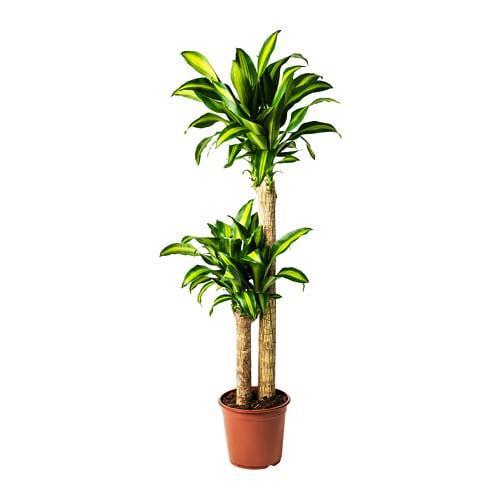 DRACAENA MASSANGEANA, Комнатное растение - ТОП ПРОДАЖ