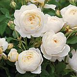 Роза Клер Остин. (ввв). Английская роза, фото 4