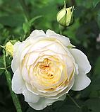 Роза Клер Остин. (ввв). Английская роза, фото 2